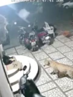 [Video] Leopardo ataca violentamente a perro que dormía a las afueras de una casa