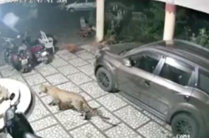 Leopardo ataca a perro