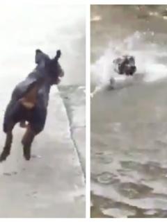 Así fue la asombrosa reacción de perro al creer que su amo se ahogaba en estanque