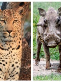 [Video] Dramático momento en el que hiena salva a jabalí de ser devorado por leopardo