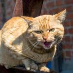 Gato gruñón.