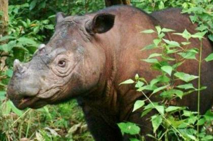 Iman, rinoceronte de Sumatra