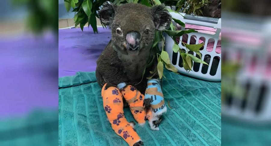 Koala que había sido rescatado de incendio.