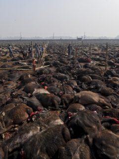 300 mil animales serán degollados en medio del festival más sangriento del mundo