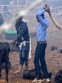 300.000 animales serán degollados en medio del festival más sangriento del mundo