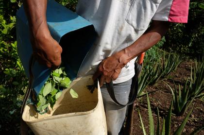 Cultivo de coca