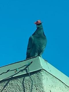Se reían de palomas con pequeños sombreros de vaquero sin saber que los tenían pegados