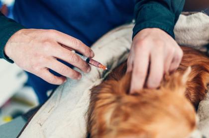 Inyección a perro.