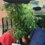Árbol de Marihuana