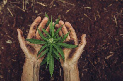 Hoja de cannabis