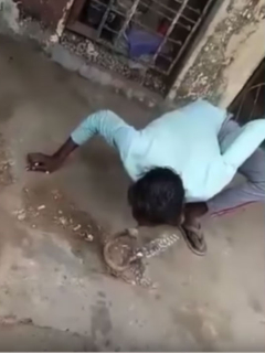 Hombre besa a cobra.
