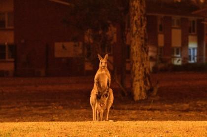 Canguro en incendios de Australi.