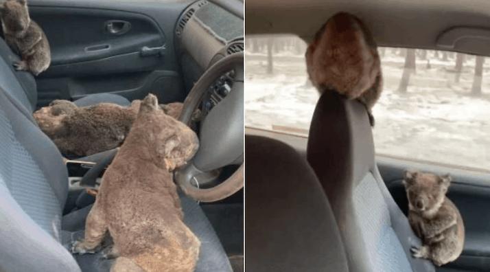 Koalas rescatados
