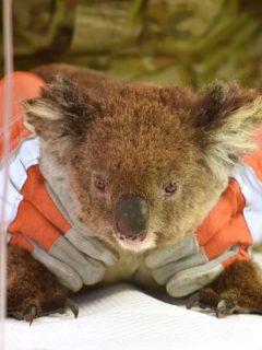 Con koalas de arcilla, niño recaudó US$ 100.000 para animales afectados en Australia