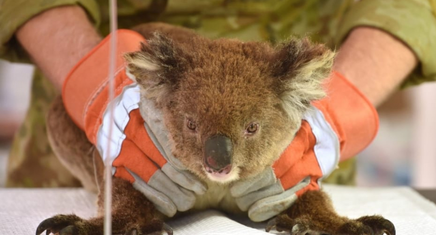 Koala herido en incendio.