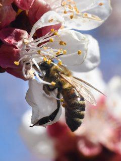 Producción de leche de almendras está acabando con las abejas; han muerto millones