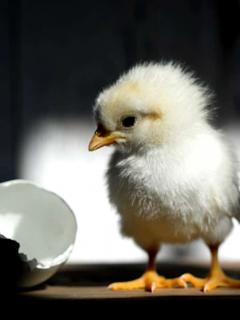 A partir de 2021, será prohibido triturar pollitos de 72 horas de nacidos, en Francia