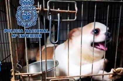 Chihuahua rescatado