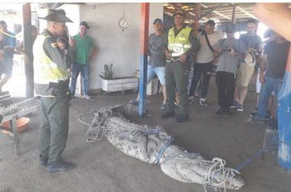Caimán atrapado en Barranquilla