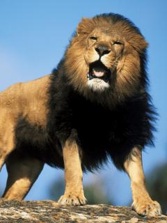 Júpiter, el león que le daba besos a su cuidadora, está entre la vida y la muerte
