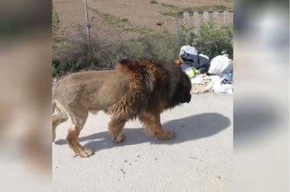 Perro al que confundieron con un león.