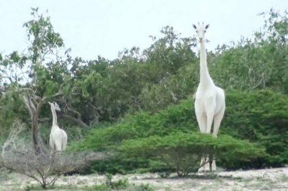 Matan a última jirafa blanco en el mundo