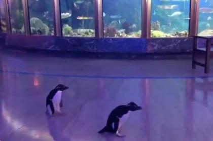 Pingüinos recorren acuario.