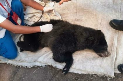 matan a osa de anteojos en Cauca