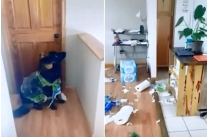 Perro destroza papel higiénico.