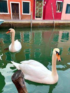 Cisnes en Venecia (Italia)