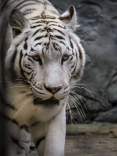 Zoológico de Santacruz, tigre de bengala