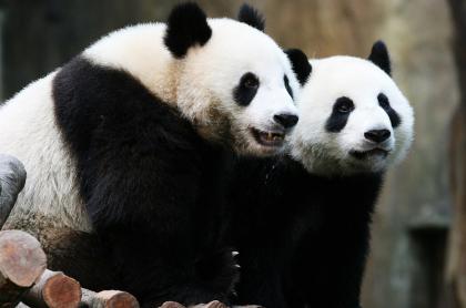 Pandas gigantes que se aparearon gracias a la pandemia