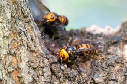 Hornet gigante asiático hace su nido en un tronco de árbol