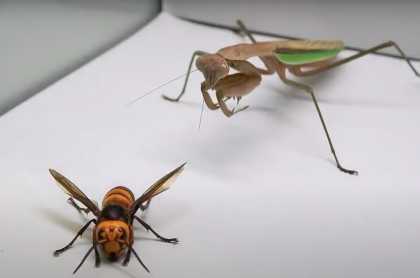 Mantis religiosa vs Avispón asiático