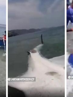 Pescadores liberan a tiburón ballena en Taganga.
