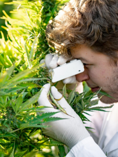 Investigador marihuana