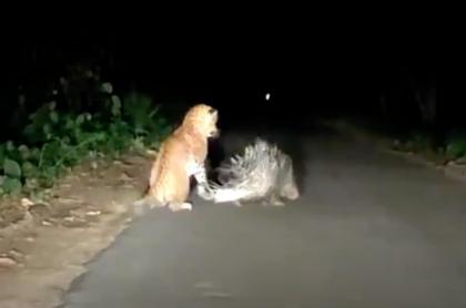 Puercoespín se defiende de leopardo.