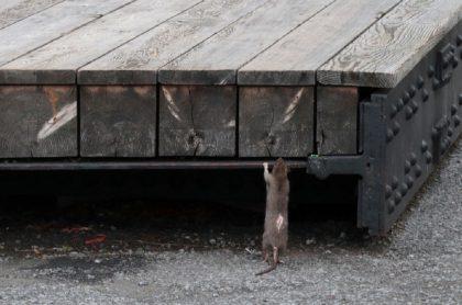 Ratas en Nueva York, Estados Unidos.