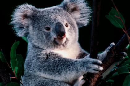 Ash el bebé koala