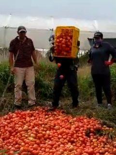 Campesinos prefieren botar la comida a la basura.