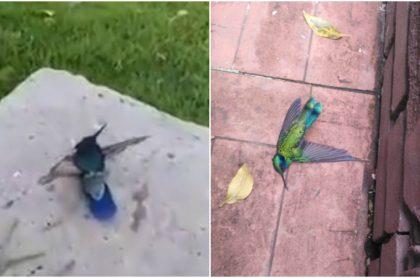 Colibríes mueren en Bogotá