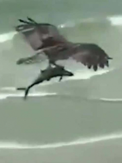Águila pesca a tiburón