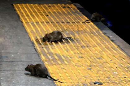 Ratas de Nueva York abandonan el metro y molestas a comensales al aire libre.