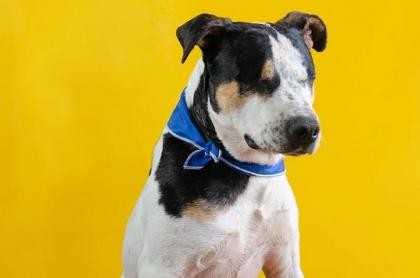 Thor, perro de 4 años, que qeudó ciego luego de que un hombre le disparó balines.