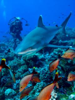 Tiburones están desapareciendo de los arrecifes de coral.