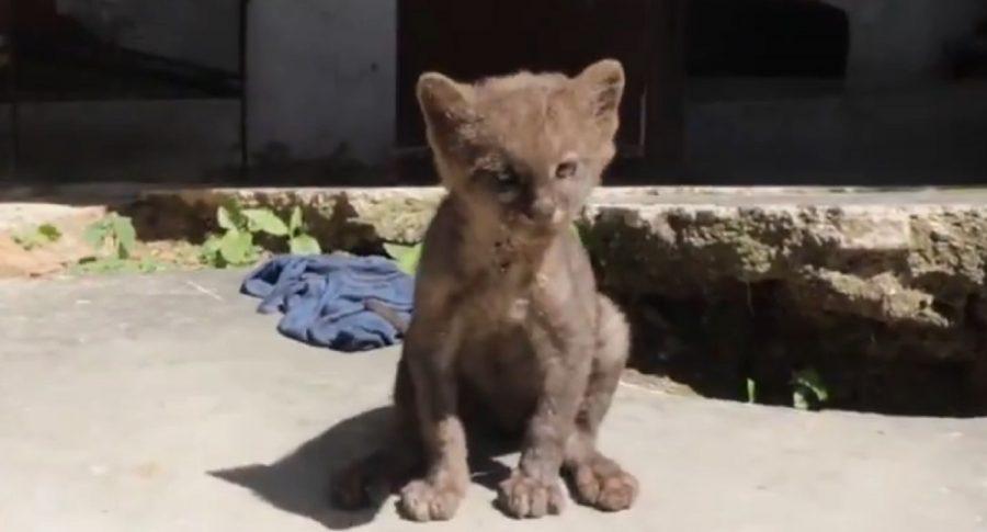 Puma adoptado que pasó por gato