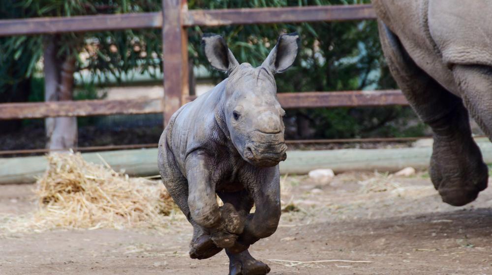 Rinoceronte blanco corriendo a los pocos días de nacida.