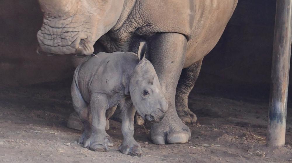 Rinoceronte blanco con su cría recién nacida.