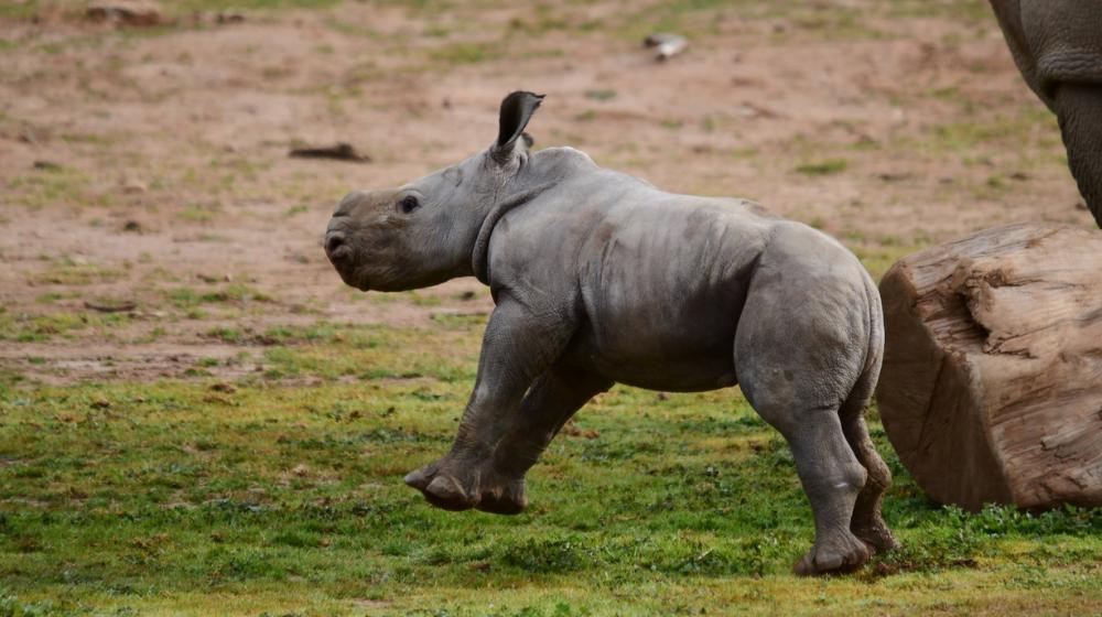 Rinoceronte blanco corriendo a los cuatro días de nacida.