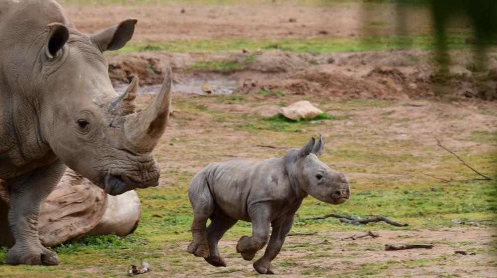 Rinoceronte blanco jugando con su madre en zoológico de Australia